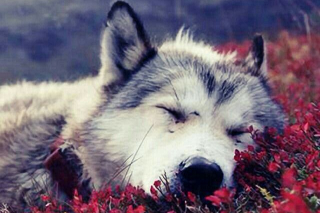 wolf-sleeping-e1560305289727.jpg